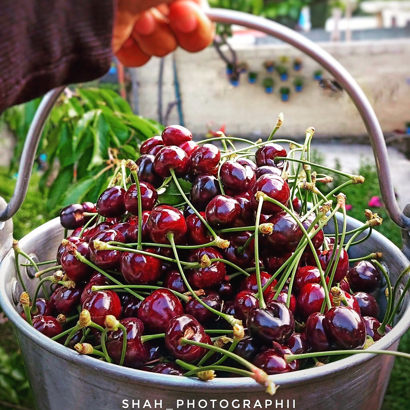 Organic Fresh Cherries